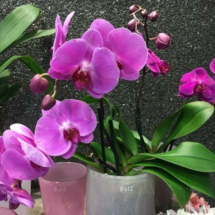 orchidee_pink_430